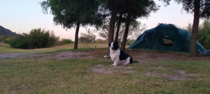 Badger thought himself so lucky to have a sheep (Kai) to herd around the camp site!